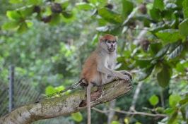 Patmos Monkey, Arnold Schwartzenegger